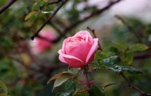 rose-flower-1