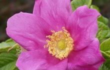 rose-flower-6